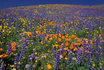 Poppies and lupine von Danita Delimont