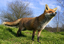 Red Fox (Vulpes vulpes) in British countryside von Danita Delimont
