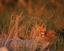 Alaska Red Fox - Vulpes vulpes by Danita Delimont