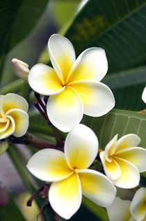 Frangipani flower Cook Islands by Danita Delimont