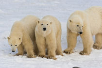 Polar bear mother with two cubs (Ursus maritimus) on frozen Hudson Bay by Danita Delimont