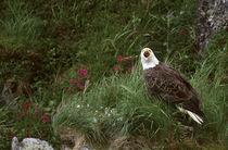 Unalaska Island Bald eagle (Haliaeetus leucocephalus) von Danita Delimont