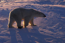 Adult male polar bear by Danita Delimont
