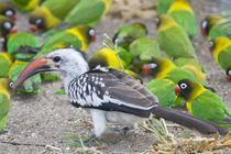 Red-billed Hornbill and Yellow-collared Lovebirds at Tarangire NP von Danita Delimont