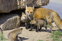 Red fox mother with kits by Danita Delimont