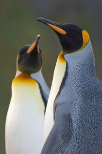 King penguins (Aptenodytes patagonicus) head detail by Danita Delimont