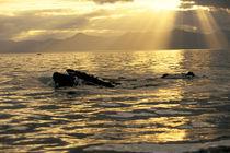 Lunge-feeding humpbacks von Danita Delimont
