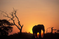 Setting sun lights Elephant (Loxodonta africana) near water hole in Savuti Marsh by Danita Delimont
