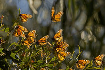 Monarch butterflies warm themselves before clustering for the night von Danita Delimont
