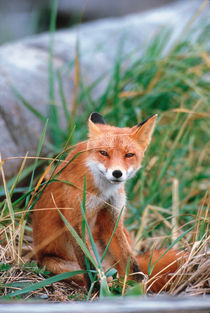 Red Fox close-up by Danita Delimont