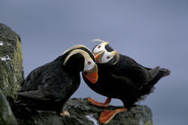 Tufted puffins (Fratercula cirrhata) preen on a cliff by Danita Delimont