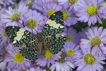Hamadryas arinome the Starry Night Butterfly von Danita Delimont