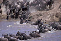 Wildebeest in migration von Danita Delimont