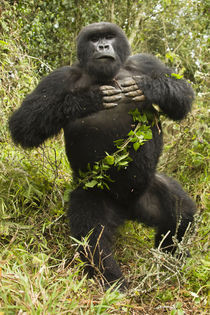 Mountain Gorillas (Gorilla beringei beringei) Blackback beating his chest by Danita Delimont