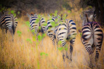 zebra in the wilderness 11 by Leandro Bistolfi