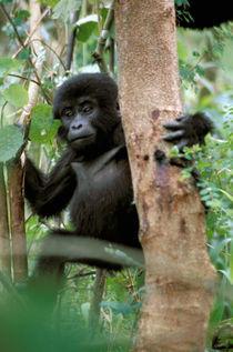 Mountain Gorilla (Gorilla gorilla berengel) by Danita Delimont