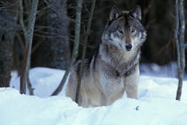 Grey wolf (Canis lupus) by Danita Delimont