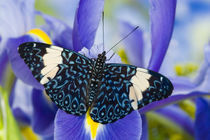 Sammamish Washington Tropical Butterflies photograph Hamadryas arinome the Starry Night Butterfly and Dutch Iris by Danita Delimont