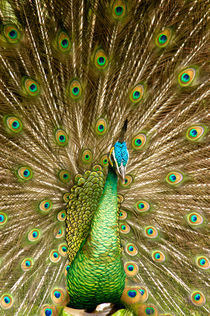 Peacock displaying feathers von Danita Delimont