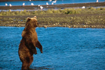 Brown Bear Fishing by Danita Delimont