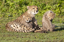 Cheetah mother and cubs playing at Ndutu in the Ngorongoro Conservation Area by Danita Delimont