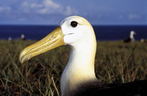 Waved Albatross (Punta cavalios) by Danita Delimont