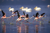 Lesser Flamingos running on water taking flight von Danita Delimont