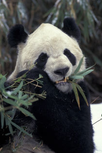 Giant Panda feeds on bamboo by Danita Delimont