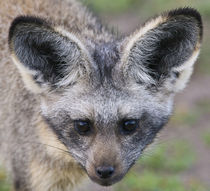 Bat-Eared Fox at Ndutu in the Ngorongoro Conservation Area von Danita Delimont