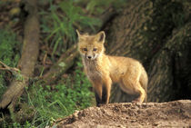 Red Fox pup in front of den (Vulpes vulpes) von Danita Delimont