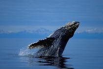 Breaching humpback whale by Danita Delimont