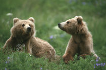 Kodiak Two sub-adult brown bears in grass and purple flowers by Danita Delimont