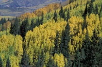 Yellow aspen and green pine mix in fall von Danita Delimont