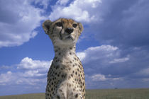 Close-up portrait of Adult Female Cheetah (Acinonyx jubatas) surveying savanna by Danita Delimont