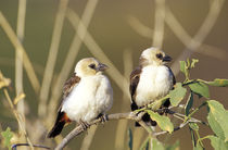 Pair of White-headed Buffalo Weavers (Dineiimellia dinemeli) von Danita Delimont