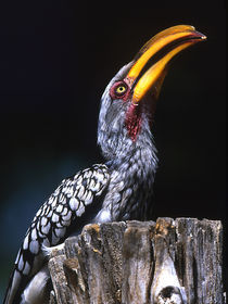 Yellow-billed hornbill on tree stump by Danita Delimont