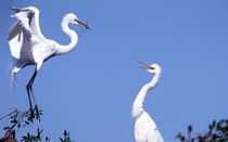 Two Great Egrets (Ardea alba) in a courtship ritual in which one partner passes a stick to the other von Danita Delimont