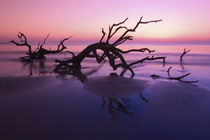 Tree graveyard on beach at twilight by Danita Delimont