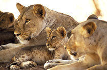 Lion cub among female lions (Panthera leo) by Danita Delimont