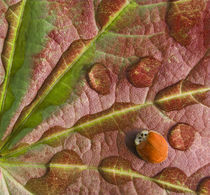 Ladybug on dewy maple leaf by Danita Delimont