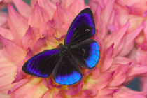 Eunica alcmena flora the Midnight Blue Butterfly from Peru von Danita Delimont