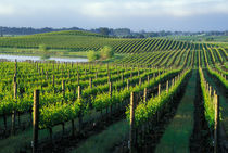 Grapevines in neat rows in California's Napa Valley wine country by Danita Delimont