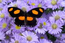 Catonephele numilia the Grecian Shoemaker Butterfly von Danita Delimont