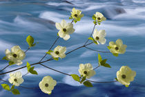Pacific dogwood blossoms against rapidly flowing stream by Danita Delimont