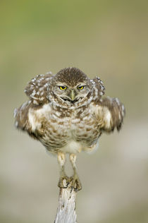Close-up of burrowing owl (Athene cunicularia) shaking its feathers while standing on fence post von Danita Delimont