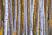 Intimate scene of aspen forest in fall von Danita Delimont