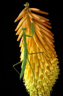 Praying Mantis on Red Hot Poker Plant (Mantis religiosa) von Danita Delimont