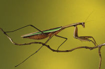 Praying Mantis on Twig found in garden (Mantis religiosa) by Danita Delimont