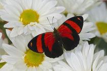 Callicore cynosura the Crimson Butterfly von Danita Delimont