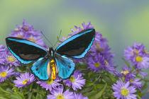 Ornithoptera priamus caelestis the Birdwing Butterfly von Danita Delimont